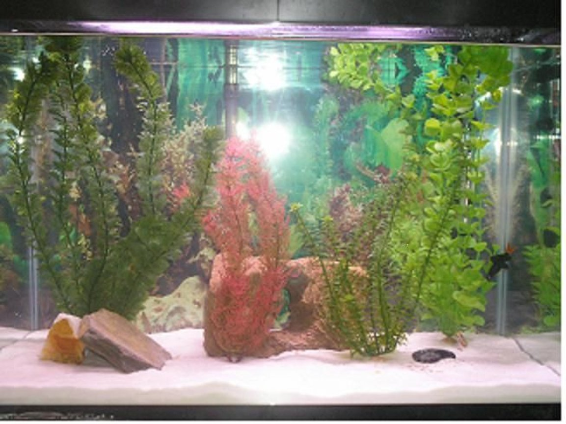 20 gallons freshwater fish tank (mostly fish and non-living decorations) - 20 gallon freshwater tank with red tailed shark, paradise fish and 2 kribenisis