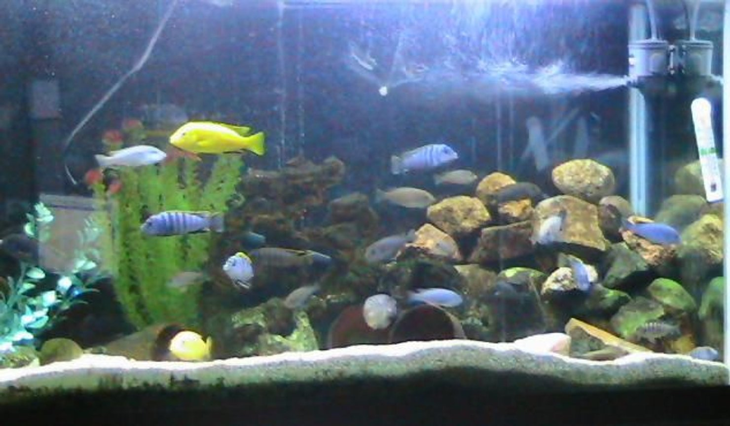 125 gallons freshwater fish tank (mostly fish and non-living decorations) - 90 gal Jalo Reef Afra ,Yellow labs &.Demasoni