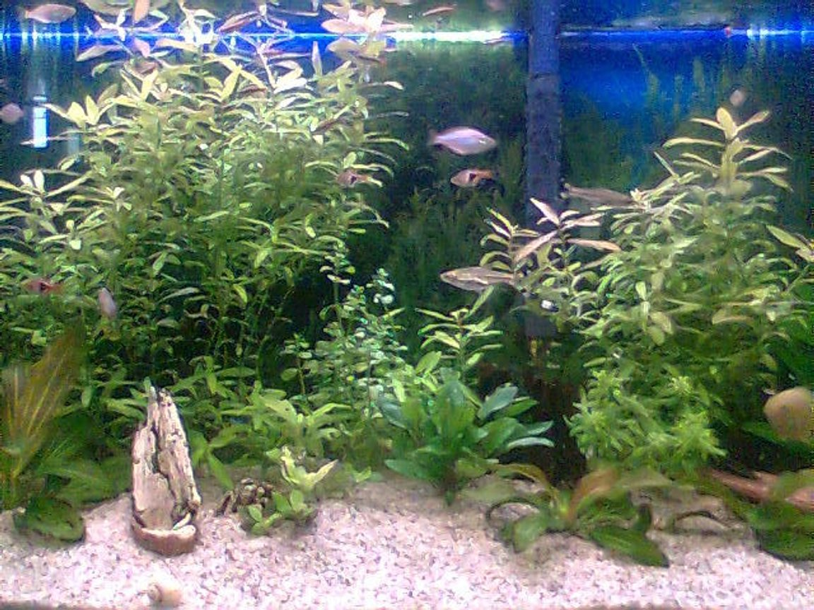 66 gallons freshwater fish tank (mostly fish and non-living decorations) - a closer look