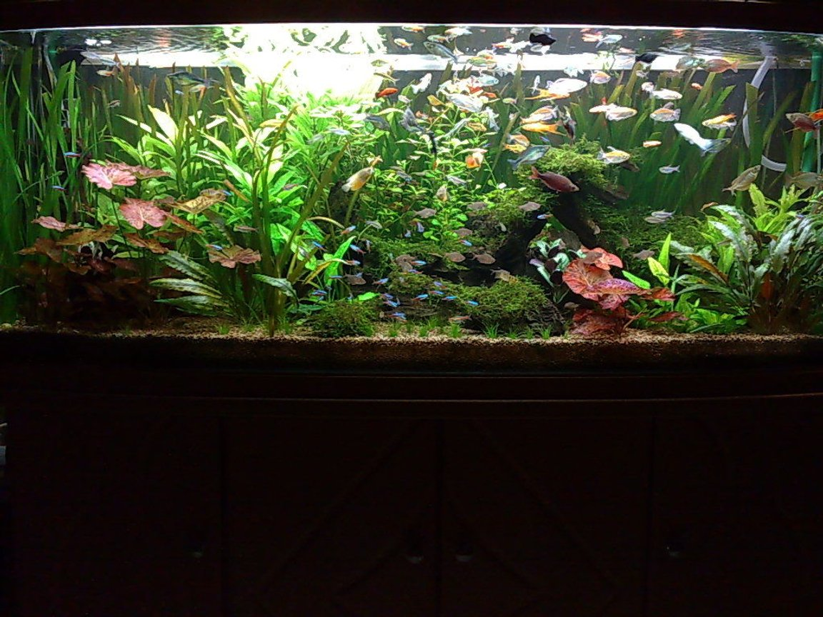 85 gallons freshwater fish tank (mostly fish and non-living decorations) - My 150cm tank 120Gallon