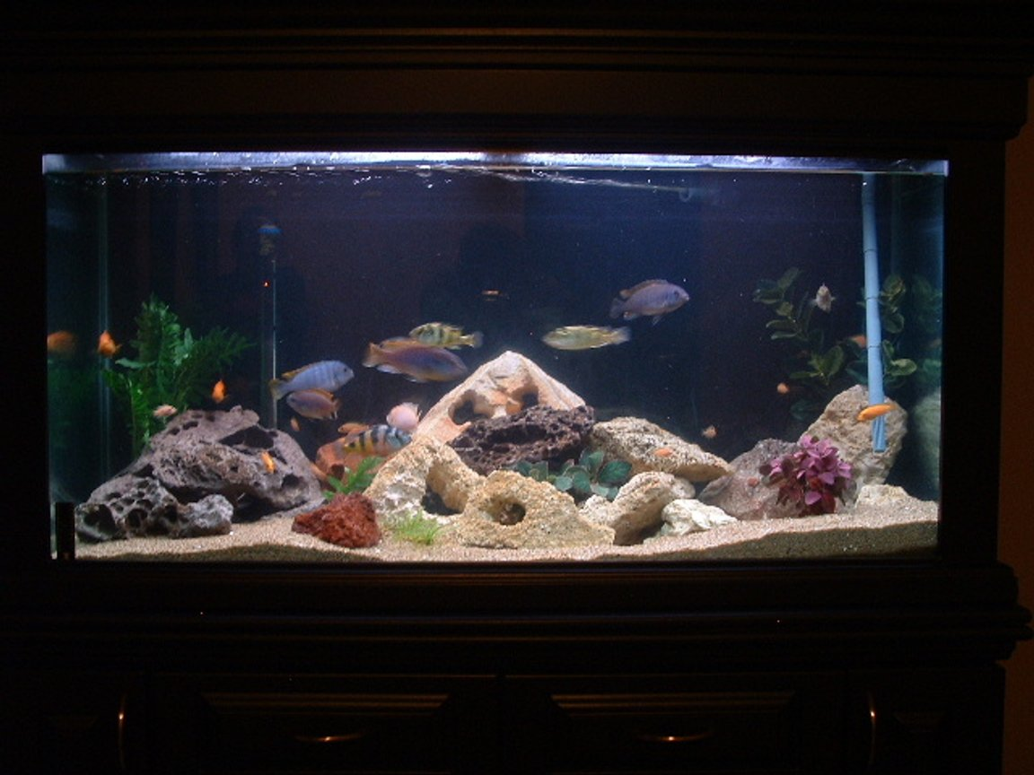 90 gallons freshwater fish tank (mostly fish and non-living decorations) - Tanya and Mike's Freshwater Tank