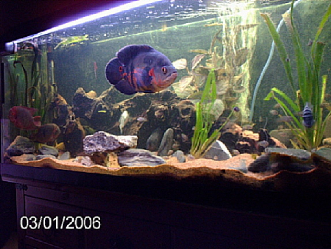 200 gallons freshwater fish tank (mostly fish and non-living decorations) - chocolate cichlids/oscars/convits/plecos