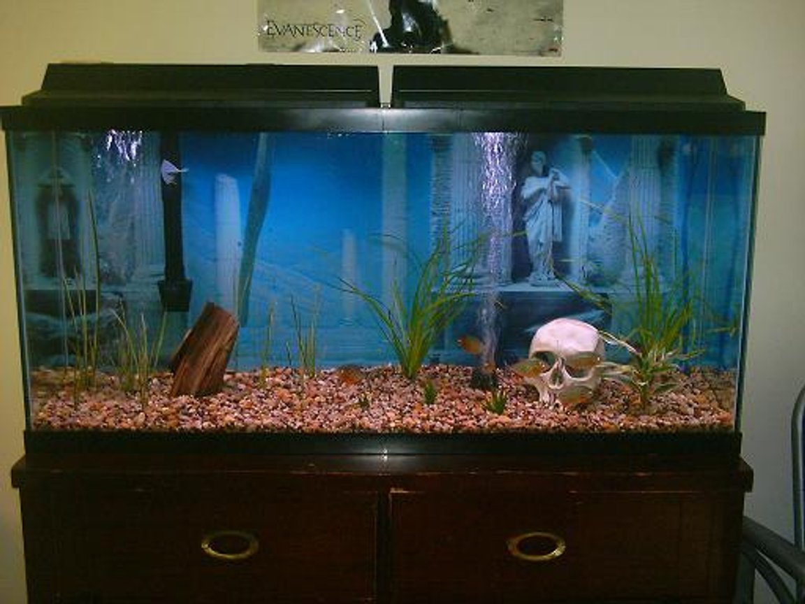 60 gallons freshwater fish tank (mostly fish and non-living decorations) - piranhas after feeding