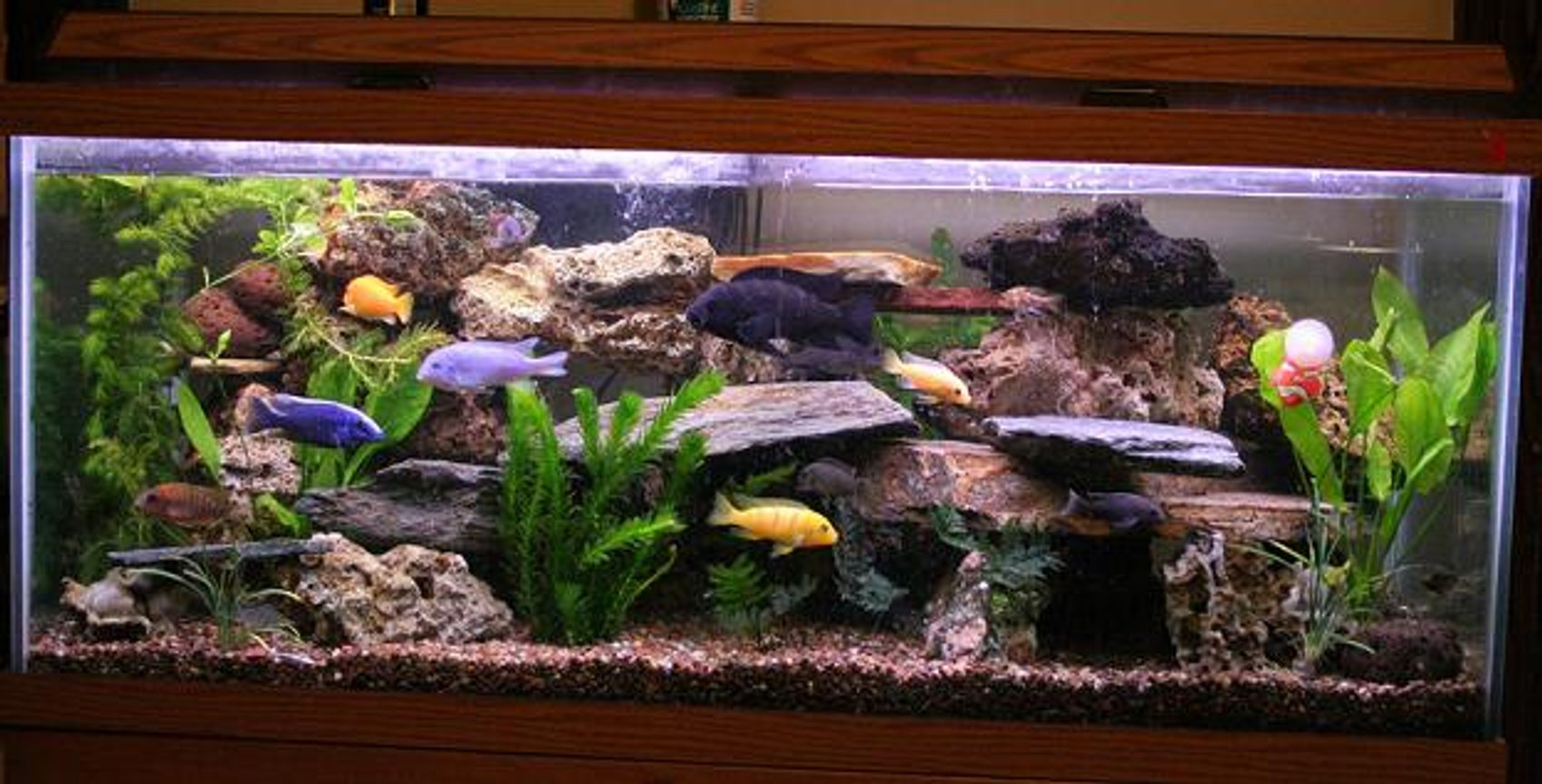 75 gallons freshwater fish tank (mostly fish and non-living decorations) - this is an updated picture of my previous one. i had to move to my new home, luckly everyone made it here with me.