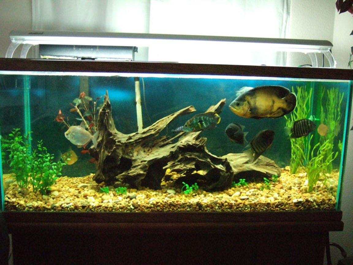 75 gallons freshwater fish tank (mostly fish and non-living decorations) - south american tank