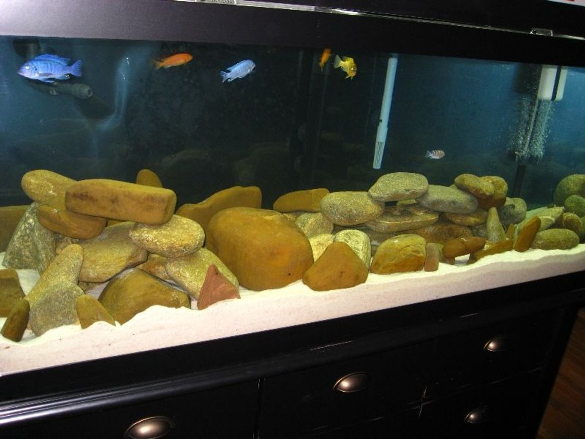 75 gallons freshwater fish tank (mostly fish and non-living decorations) - Malawi Mbuna 75 gallon tank