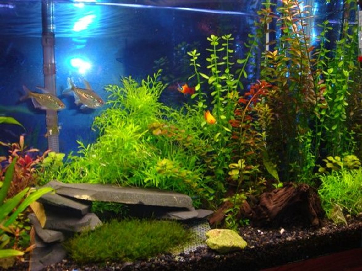 55 gallons freshwater fish tank (mostly fish and non-living decorations) - Here is a closer look at our current setup. The plastic mesh contraption in front of the cave worked out great and the moss is beautiful.