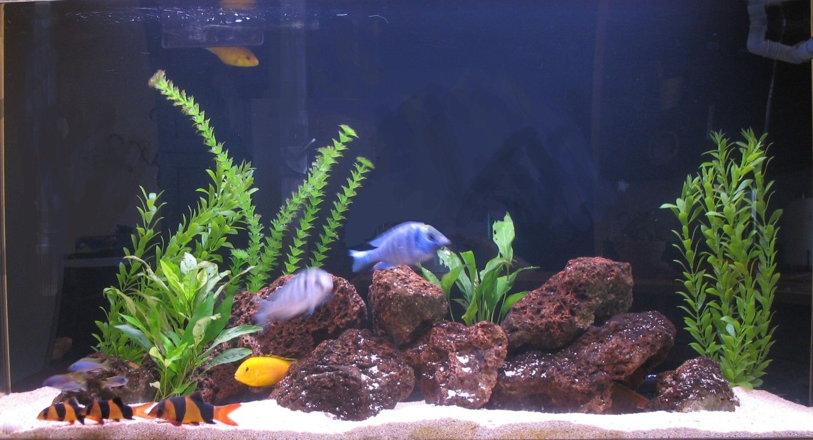 75 gallons freshwater fish tank (mostly fish and non-living decorations) - 75 gal./280 liter freshwater SeaClear acrylic . Aragonite base with lava rock. Mixed real and fake plants. African Lake Malawi Cichlids and clown loaches
