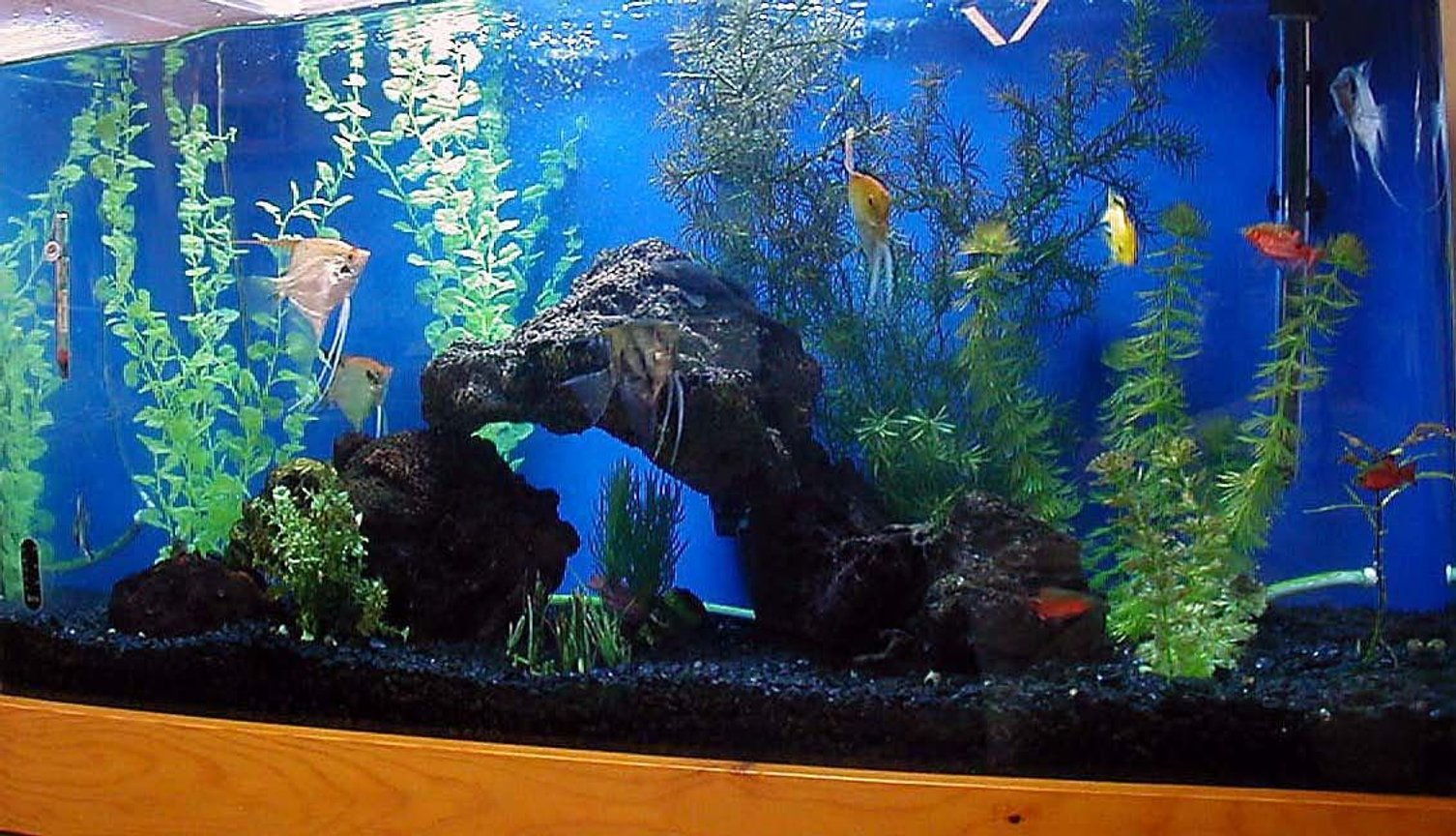 55 gallons freshwater fish tank (mostly fish and non-living decorations) - 55g angel tank with lava rock, driftwood, black gravel and artificial plants. Angels, electric yellow cichlid, rosey barbs, flying foxes and bushynose pleco.