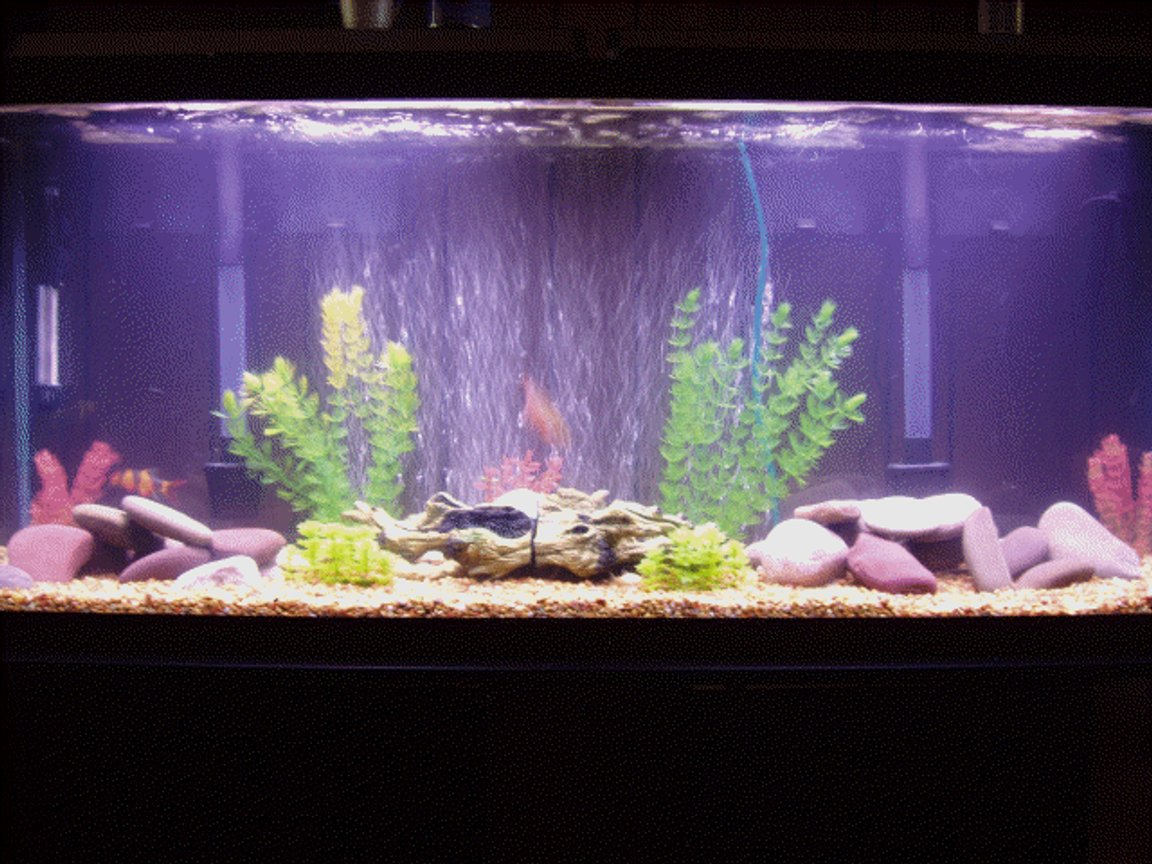 60 gallons freshwater fish tank (mostly fish and non-living decorations) - 60 gal oscar/lclown loach tank