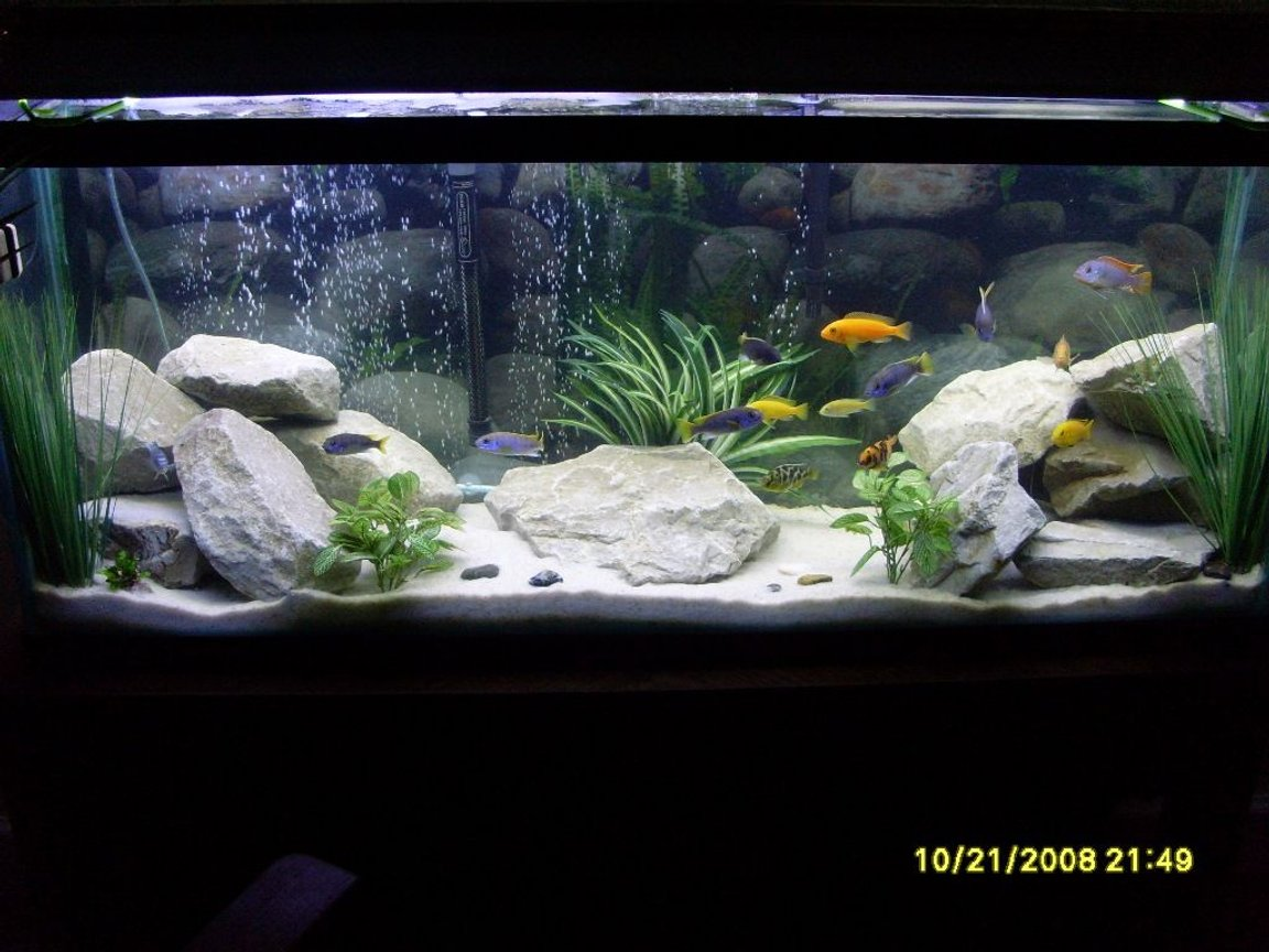 55 gallons freshwater fish tank (mostly fish and non-living decorations) - Updated. 55 Gal. Lake Malawi Cichlids. White Filtration Sand, Drainage Rocks & Fake Plants from Michaels.