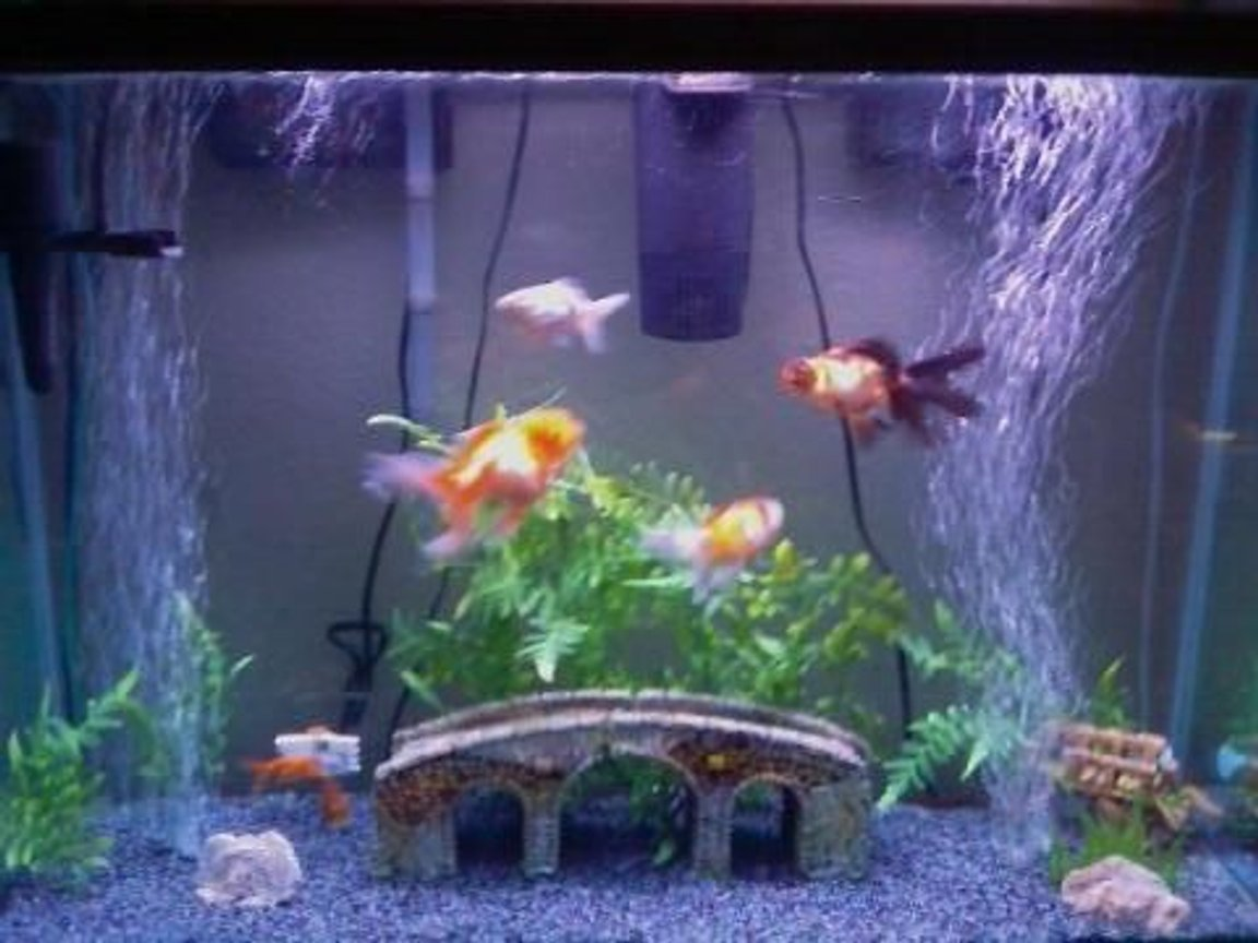 45 gallons freshwater fish tank (mostly fish and non-living decorations) - My tank and some of my fish.. others are behind the bridge n stuff.