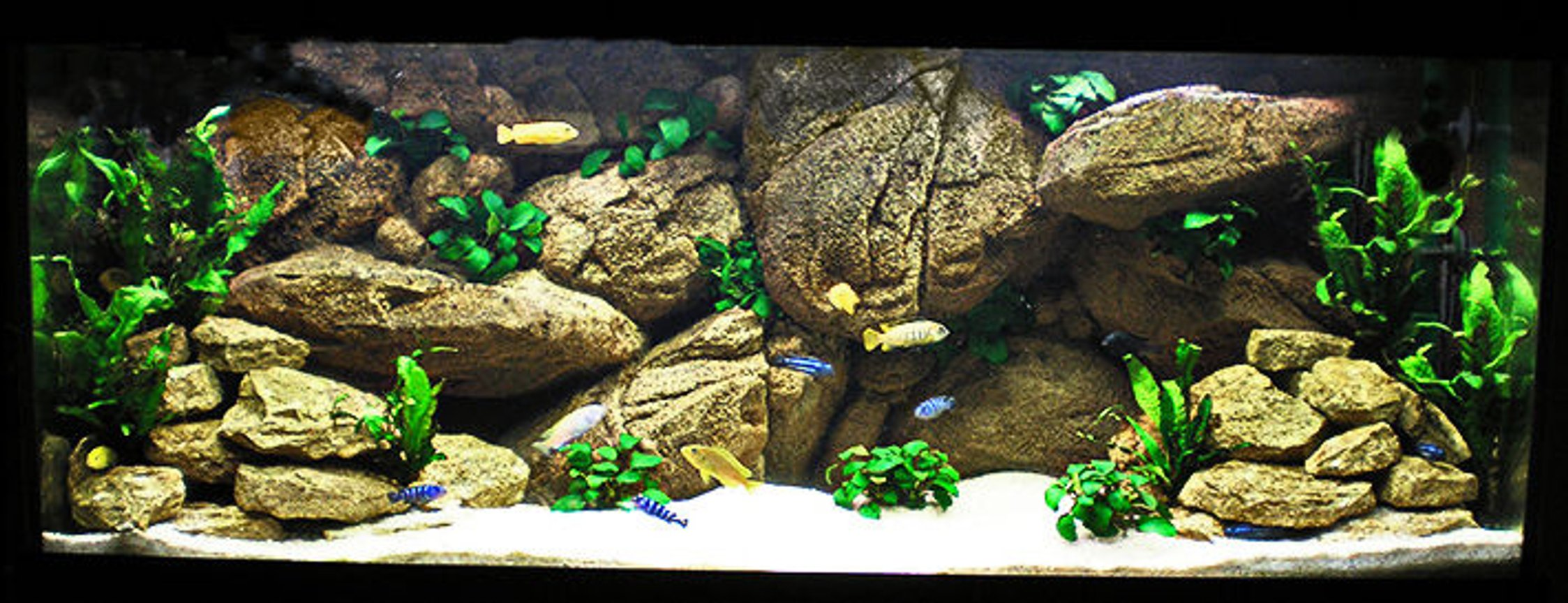63 gallons freshwater fish tank (mostly fish and non-living decorations) - My Mbuna Tank