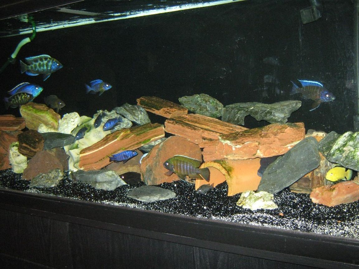125 gallons freshwater fish tank (mostly fish and non-living decorations) - 125 gallon cichlids tanks