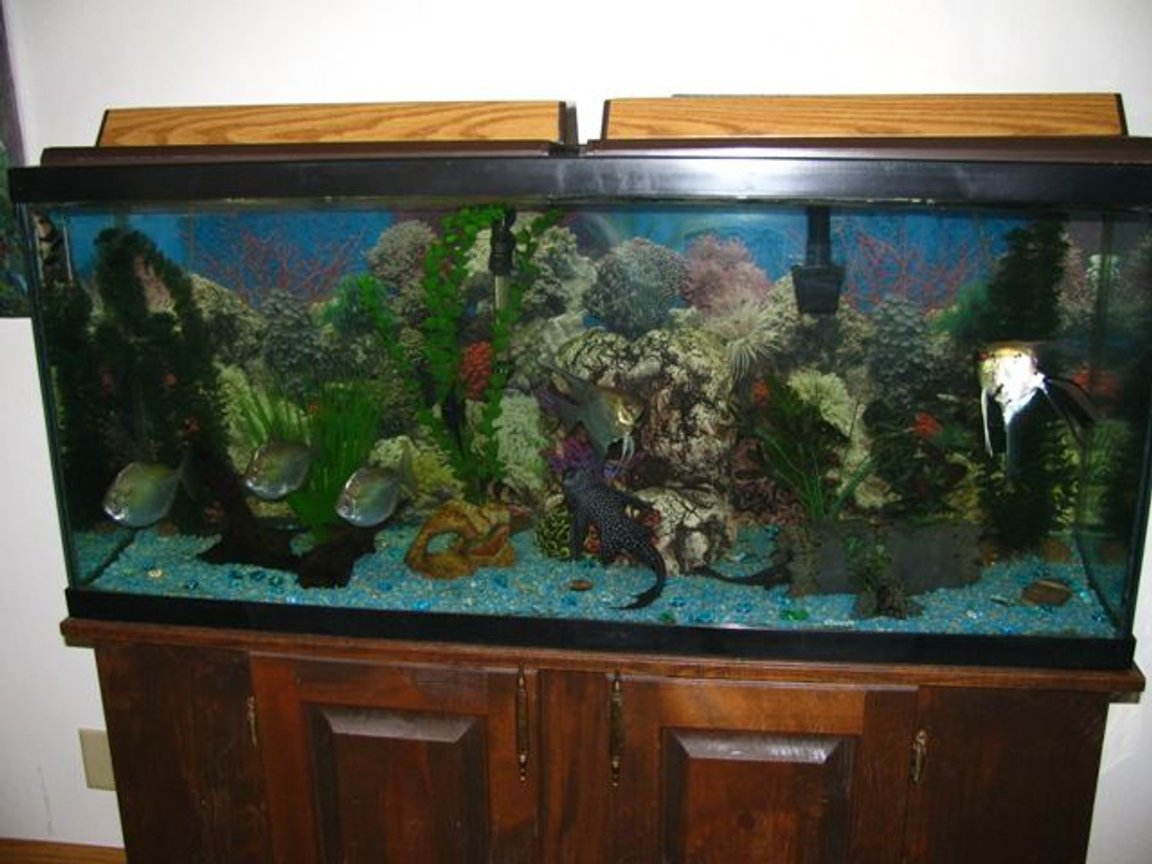 55 gallons freshwater fish tank (mostly fish and non-living decorations) - My 55 gallon