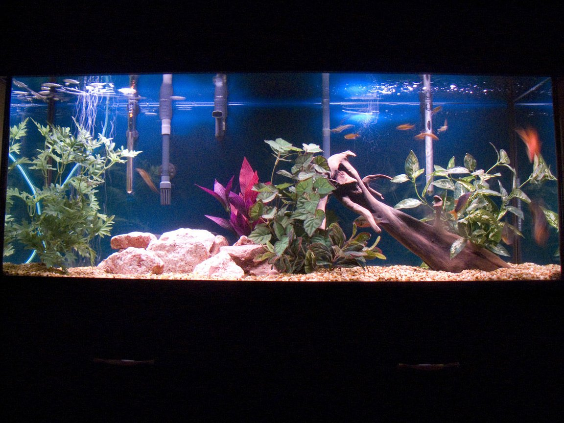 55 gallons freshwater fish tank (mostly fish and non-living decorations) - family fish tank two blood parrot fish two silver dollar one red tail botia one firemouth nine silver tips tetras driftwood,strabbery rocks,...