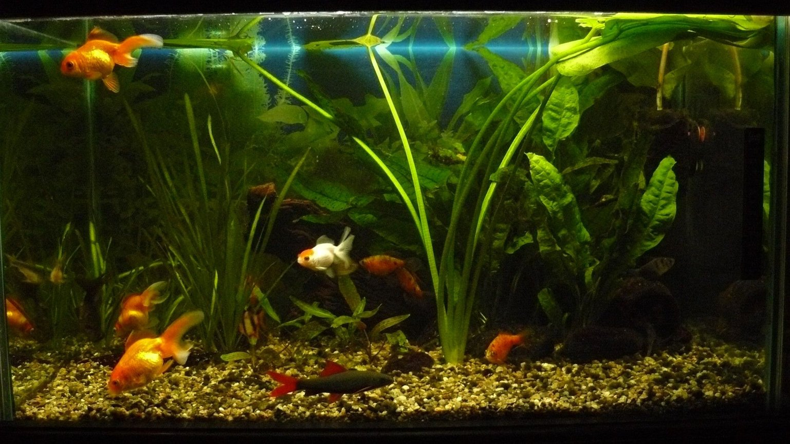 25 gallons freshwater fish tank (mostly fish and non-living decorations) - 100 L tank, 5 goldfish, 1 labeo, 2 corry, 2 tetra, 4 conconius, 1 kuli, 1 tiger barb.