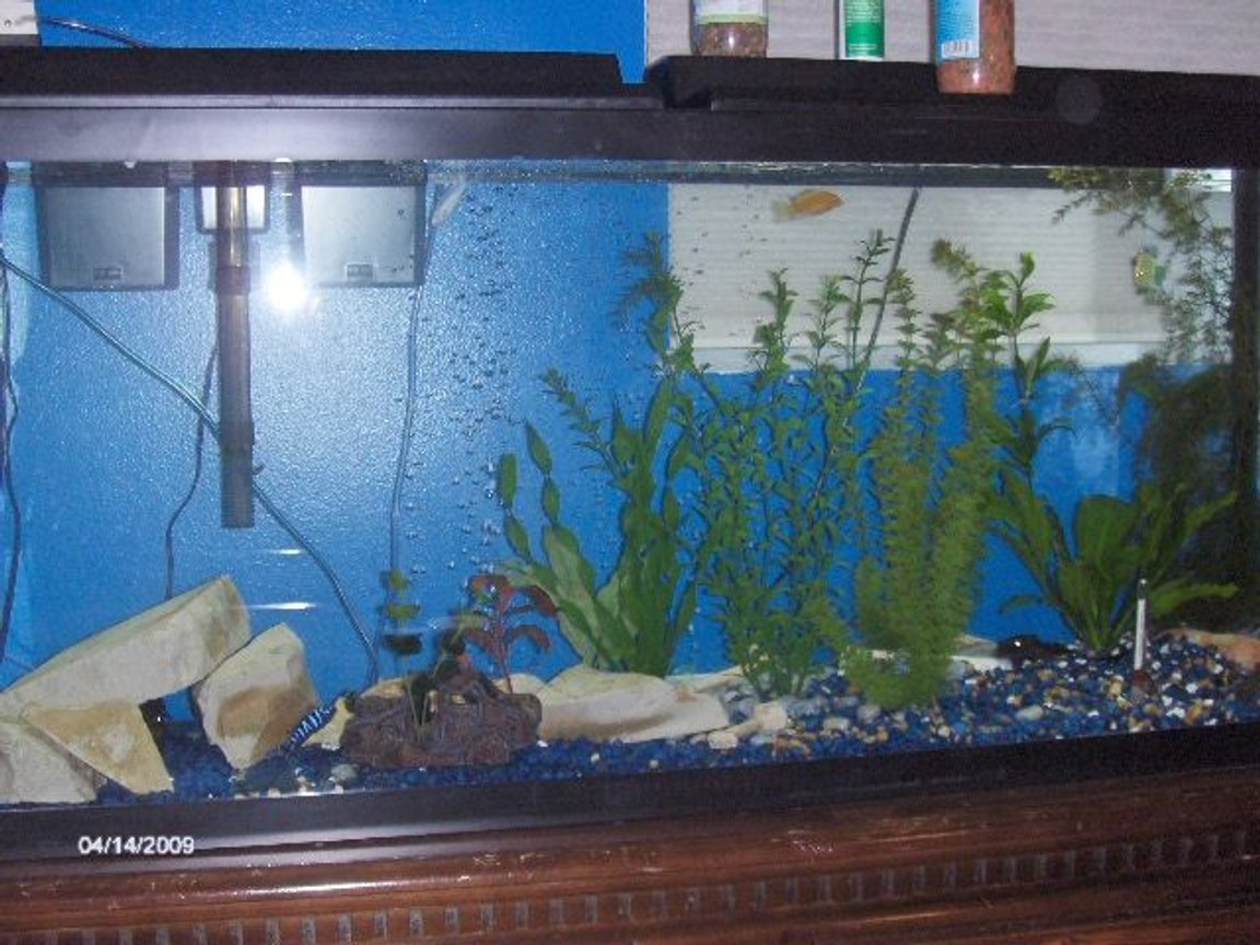 55 gallons freshwater fish tank (mostly fish and non-living decorations) - my tanl