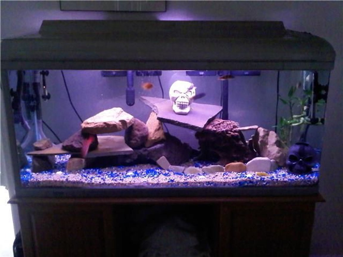 85 gallons freshwater fish tank (mostly fish and non-living decorations) - Cichlid tank