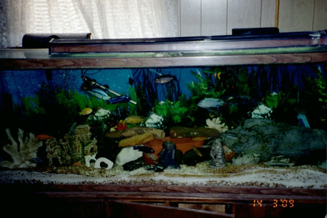 150 gallons freshwater fish tank (mostly fish and non-living decorations) - 150 gal aquarium with mostly Malawi Mbunas