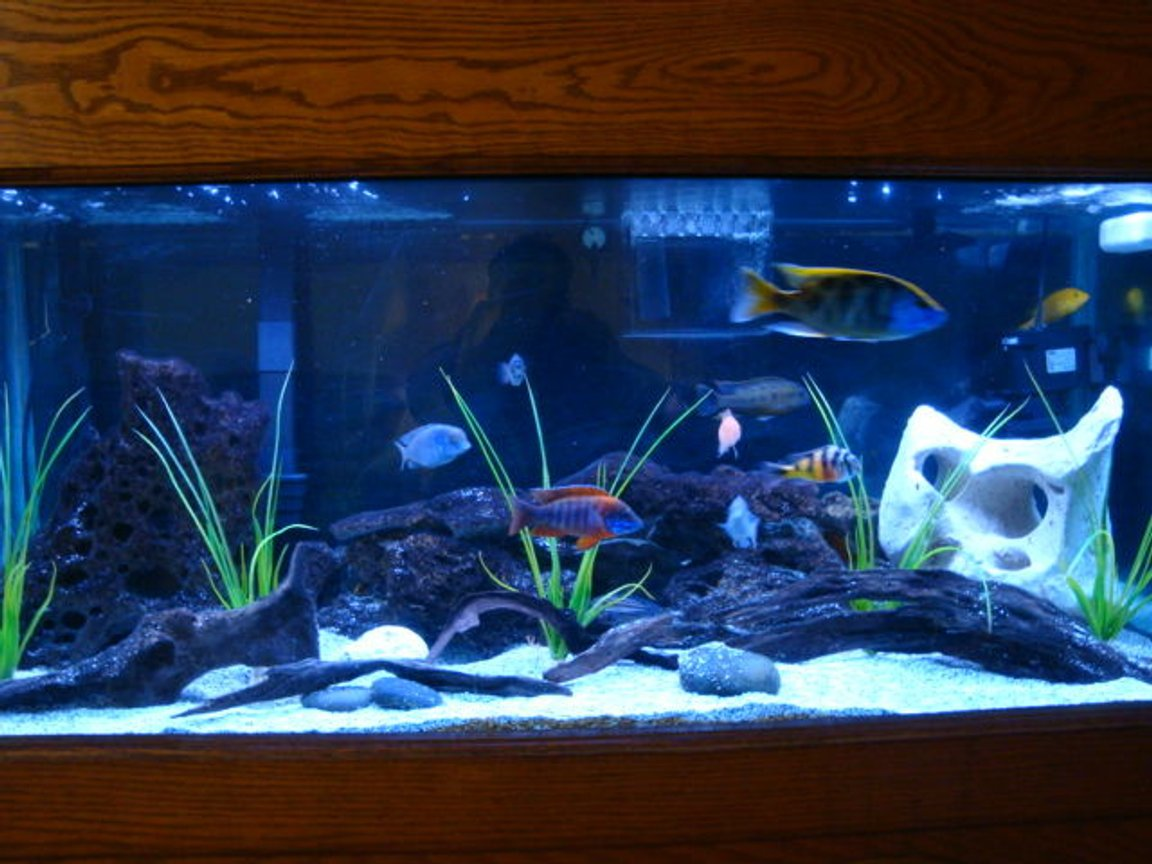 75 gallons freshwater fish tank (mostly fish and non-living decorations) - 75 gallon african cichlid tank.