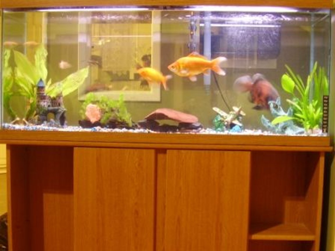 55 gallons freshwater fish tank (mostly fish and non-living decorations) - 55 Gallon Freshwater Tank 5 months old.