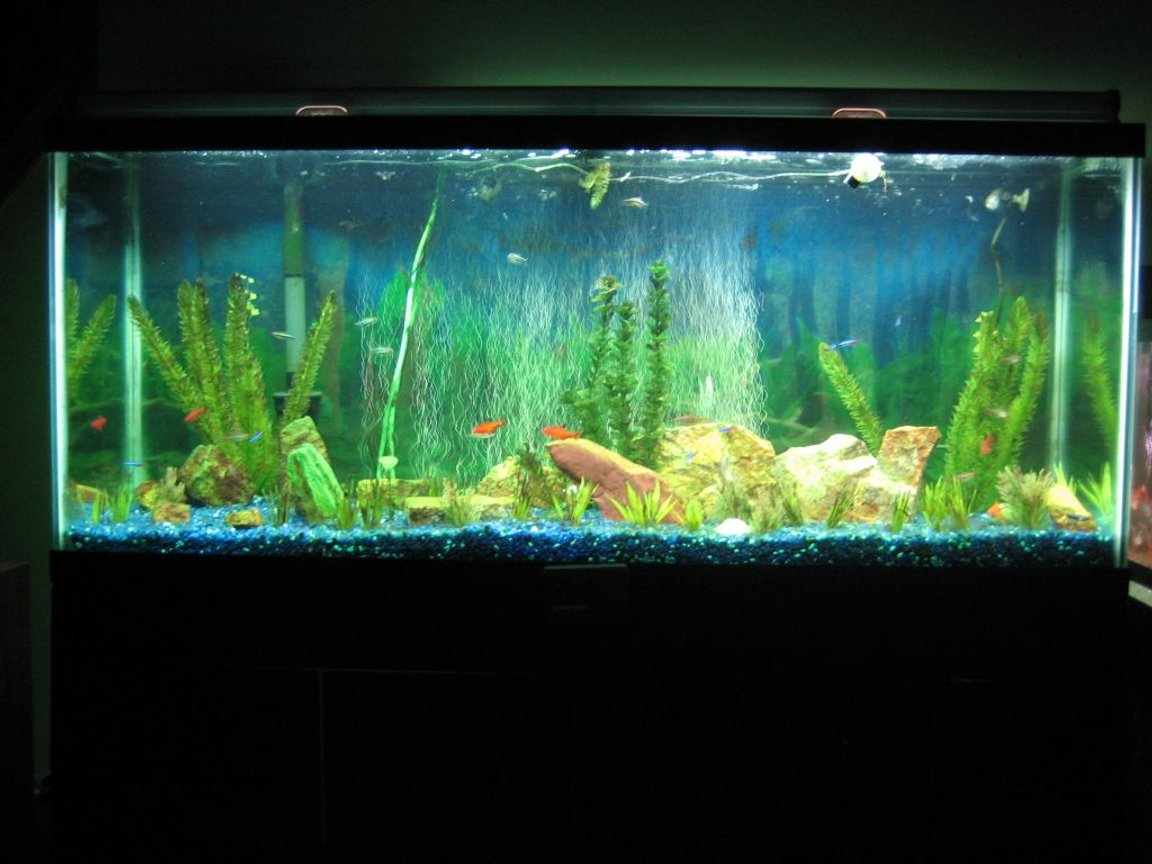 55 gallons freshwater fish tank (mostly fish and non-living decorations) - My 55 gallon freshwater running on a budget.