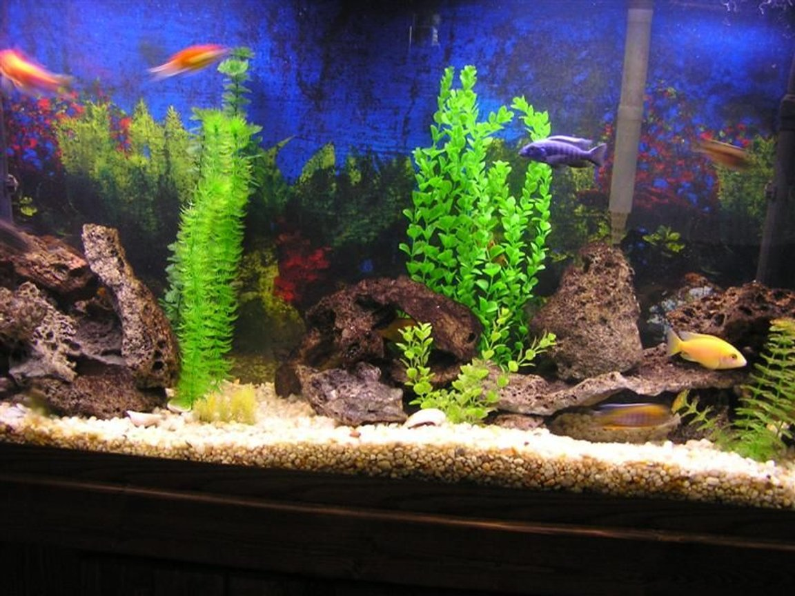 60 gallons freshwater fish tank (mostly fish and non-living decorations) - 60 gallon cichlid tank