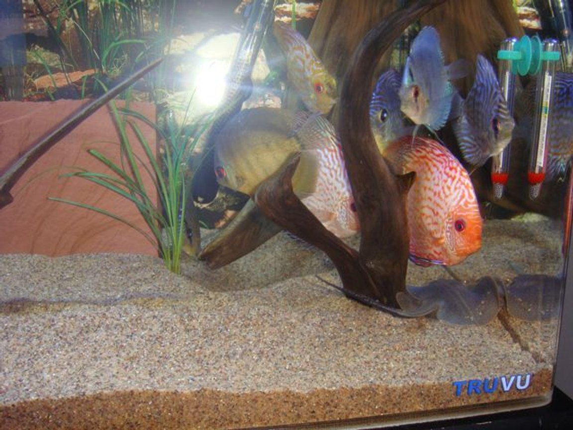 75 gallons freshwater fish tank (mostly fish and non-living decorations) - discus