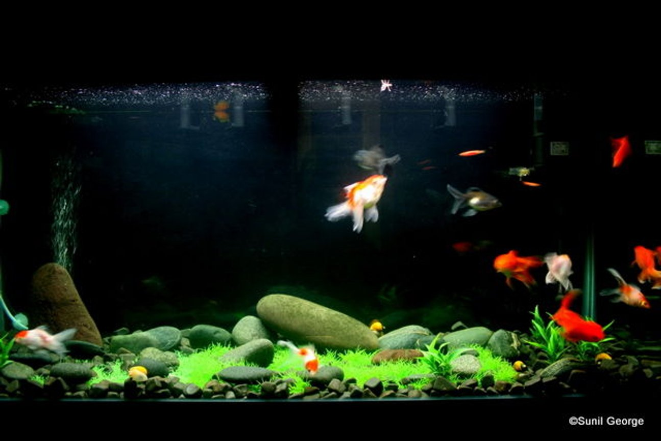 320 gallons freshwater fish tank (mostly fish and non-living decorations) - I have a 4ft, 60 Gallon Tank. There are 11 fancy GoldFish, 5 Apple Snails and 2 Zebra Danios. All plants are artificial.