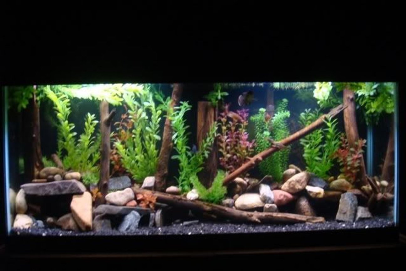 55 gallons freshwater fish tank (mostly fish and non-living decorations) - 55 gallon 2 green terrors severum convict senegal bichir