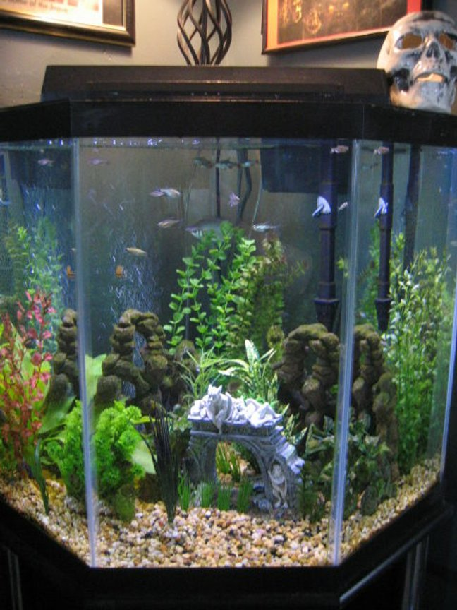 44 gallons freshwater fish tank (mostly fish and non-living decorations) - My corner tank