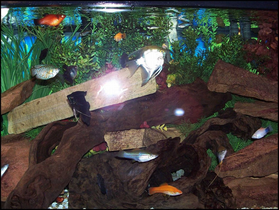 75 gallons freshwater fish tank (mostly fish and non-living decorations) - My community tank.