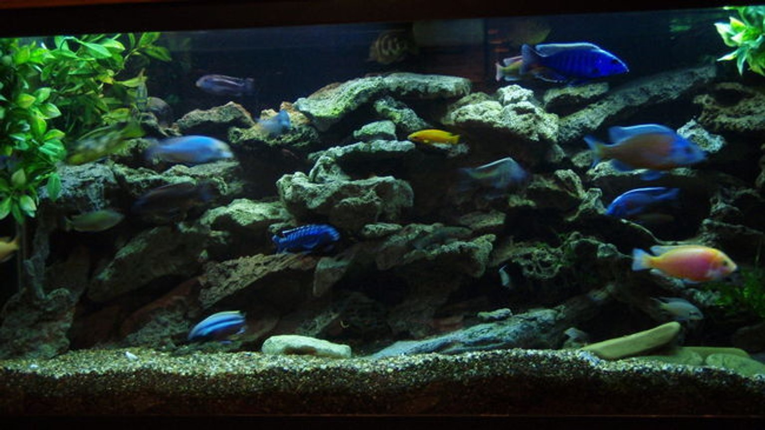 75 gallons freshwater fish tank (mostly fish and non-living decorations) - 75 GAL. BUILT INTO WALL WITH ACCESS IN WALK IN CLOSET AREA. TWO OVER HEAD CAN LIGHTS FOR MAINTENANCE, OVER TOP STRIP LIGHT- MOONLIGHT, 55 GAL SUMP FILTER W. UV STERILIZER AND HEATER BELOW 75 GAL. UTAH LACE ROCK ON SMALL CRUSHED GRAVEL, FEW PEICES OF CRUSHED CORAL, MY LOCAL TAP IS HARD AND GOOD CICHLID PH. THE ENTIRE SETUP WAS CUSTOM BUILT AND INSTALLED BY MYSELF AND HOBBYIST FRIEND/PROFESSIONAL. ALSO HAVE OLD MAGNUM 350 CANISTER FILTER THAT I USE THE MICRON INSERT AND RUN EVERY SO OFTEN, 20% WATER CHANGE EVERY WEEK. SWITCHED TO 50/50 REEF SUN BULBS AND WISH I DID LONG AGO. AWESOME COLOR DETAIL. added a 5.5 gallon refugium/plant tank to the 55 gal sump