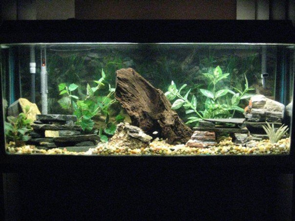 55 gallons freshwater fish tank (mostly fish and non-living decorations) - Size: 55 gallon Filter: Fluval 405 Canister Heater: VisiTherm Heater Decor: Malaysian Driftwood Slate Rocks Marina AquaScaper Variety Pack Aquarium Plants Fish: Cichlids (all fry): 1-100% White Knights Alhi's 1-Ruby Red (Split Gene) 1-Banga Sunshine 1-Cherry Red Ngara (Split Gene) 1-Dragon Blood 1-Eureka Red 1-Albino Eureka Red 1-Ruby Red 1-Lwanda Red Top 7-Peacocks (Not sure the names) 3-Albino Reds (Not sure the names) 5-X-Mas Fulu 1-Chinese Algae Eater