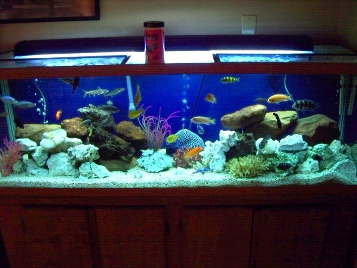125 gallons freshwater fish tank (mostly fish and non-living decorations) - Cichlid's
