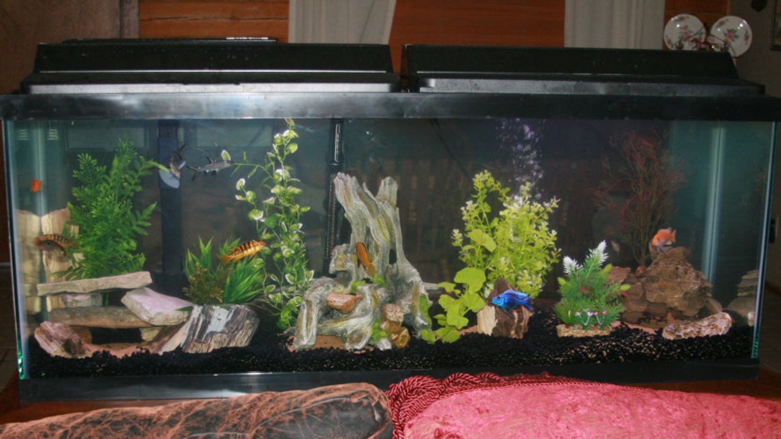 55 gallons freshwater fish tank (mostly fish and non-living decorations) - I am new to Cichlid's and this tank is 2 weeks old. All of the petrified wood and rocks were collect from the ranch except the artificial in the middle.