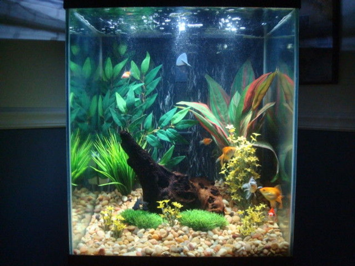 40 gallons freshwater fish tank (mostly fish and non-living decorations) - Goldies at play