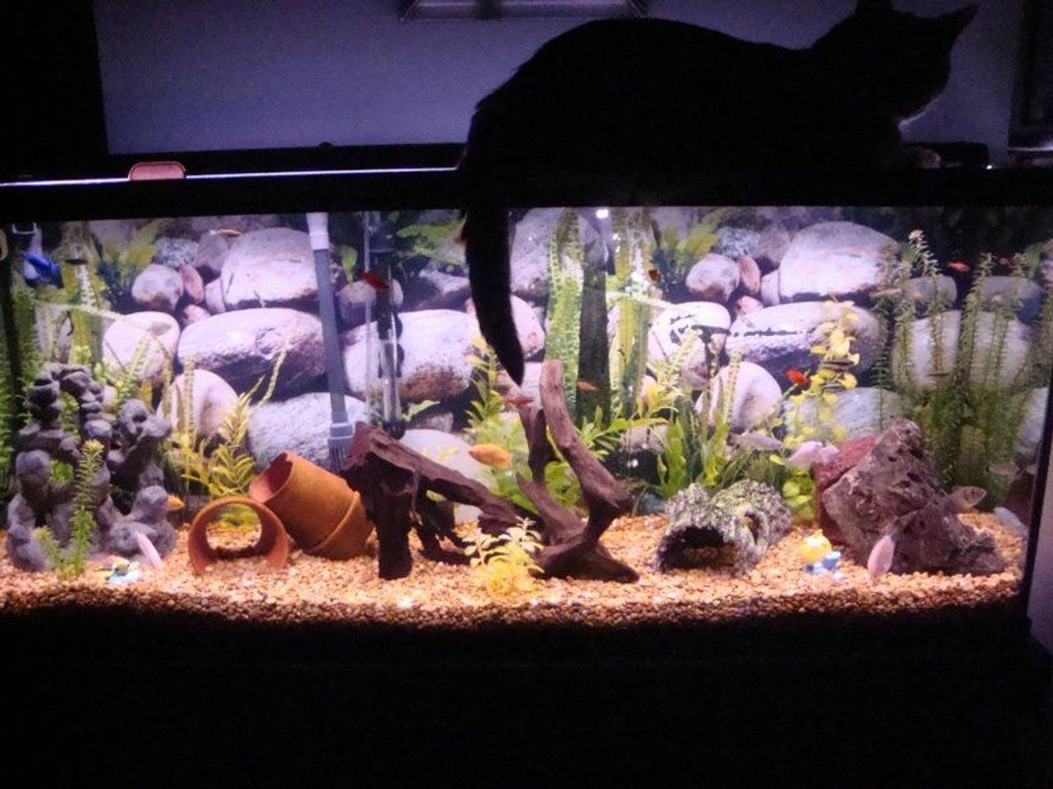 55 gallons freshwater fish tank (mostly fish and non-living decorations) - 55 gallon community--our cat sitting on top