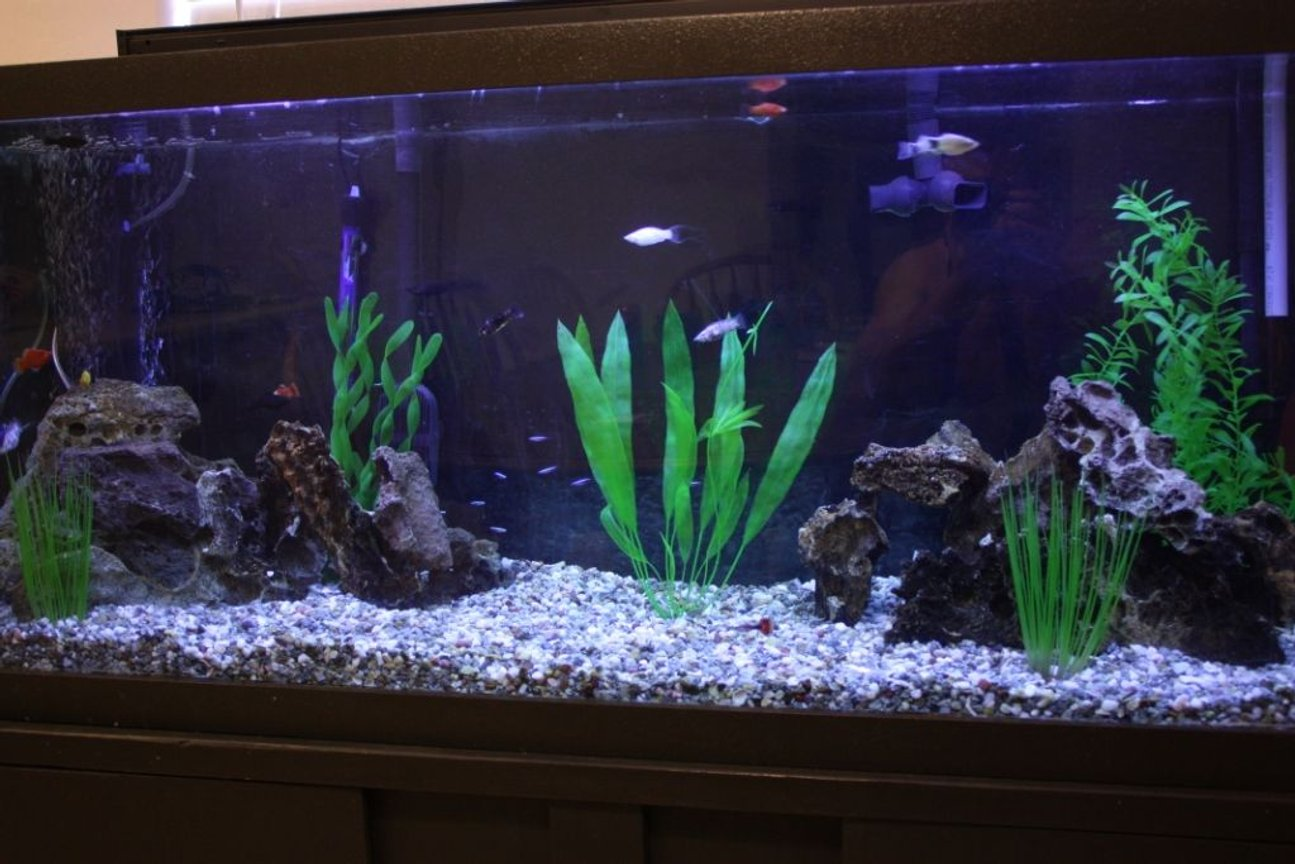125 gallons freshwater fish tank (mostly fish and non-living decorations) - 125gal fresh tropical community mollies, platies, tetras, guppies fluval fx5, fluval submersible, marineland magnum 350, coralife 50/50