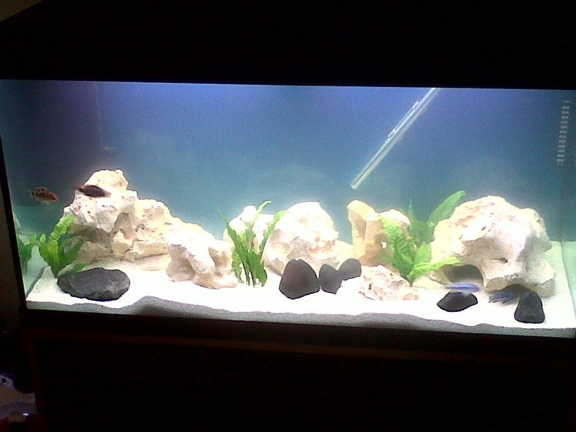 42 gallons freshwater fish tank (mostly fish and non-living decorations) - African lake malawi cichlids