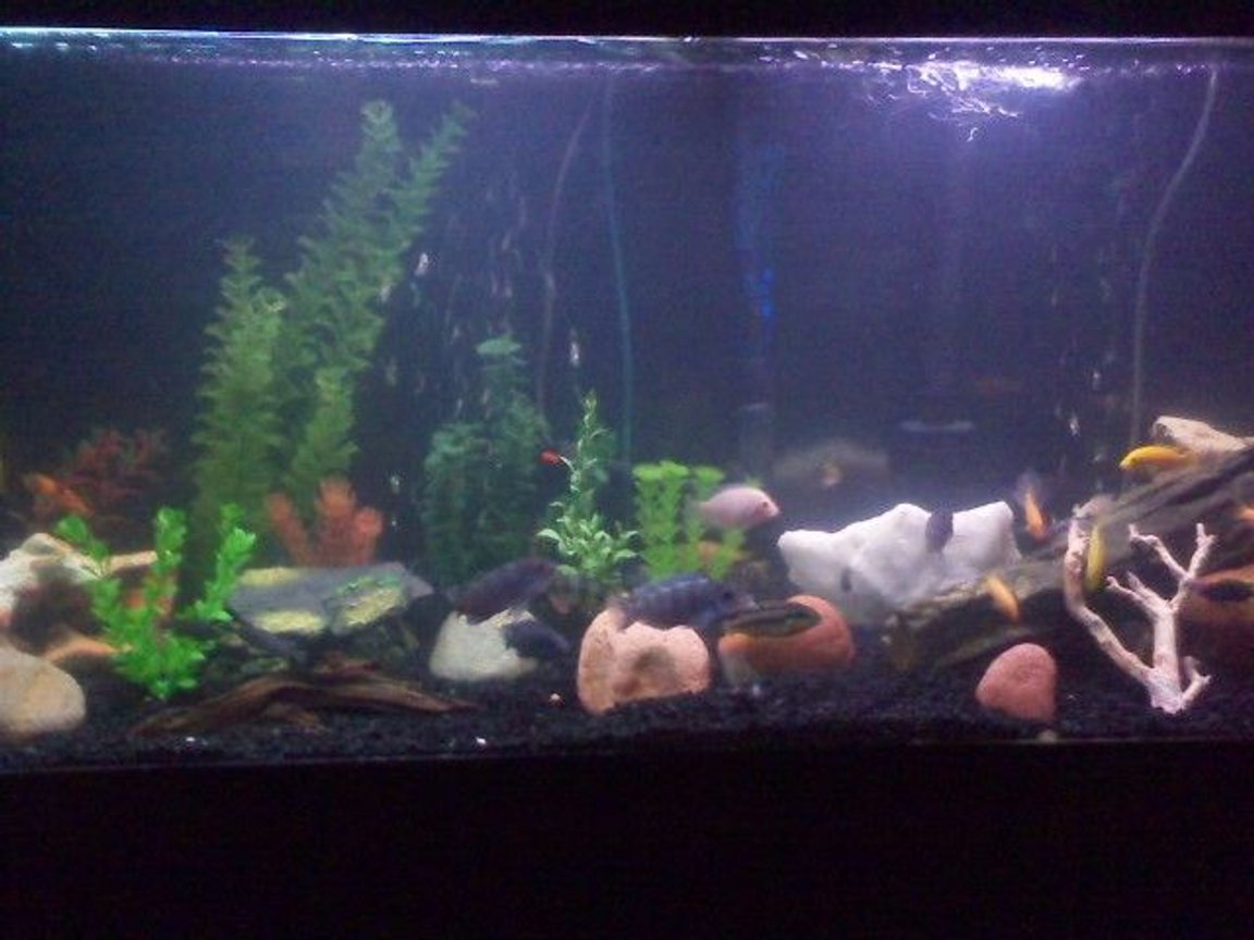 75 gallons freshwater fish tank (mostly fish and non-living decorations) - mixed cichlids