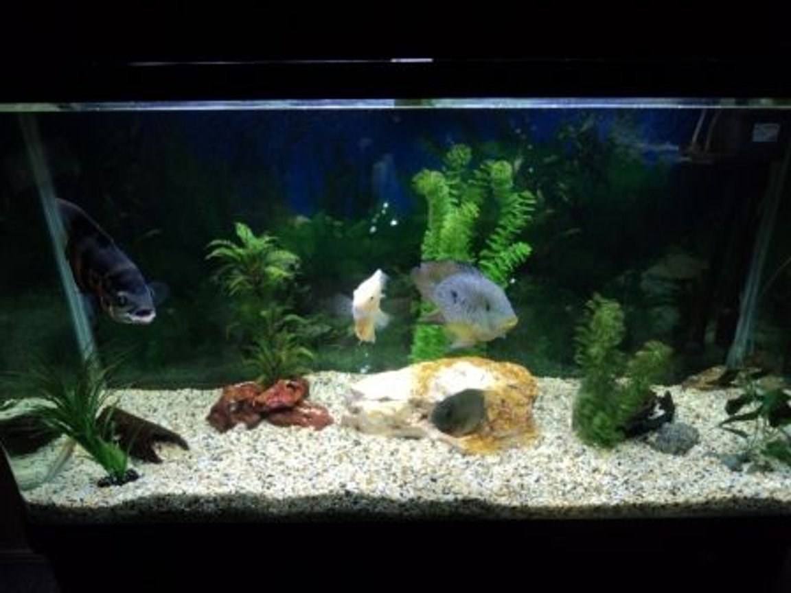 "90 gallons freshwater fish tank (mostly fish and non-living decorations) - 4ft, 90 Gallon South American Cichlid Aquarium. Tiger Oscar 8"", Brasiliensis 6"", Gold Severum 4"", Green Severum 4""."