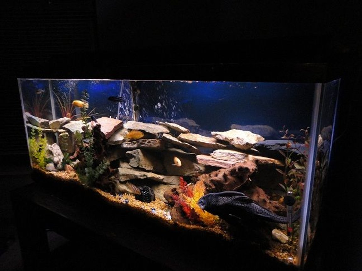 55 gallons freshwater fish tank (mostly fish and non-living decorations) - CHICLID HEAVEN