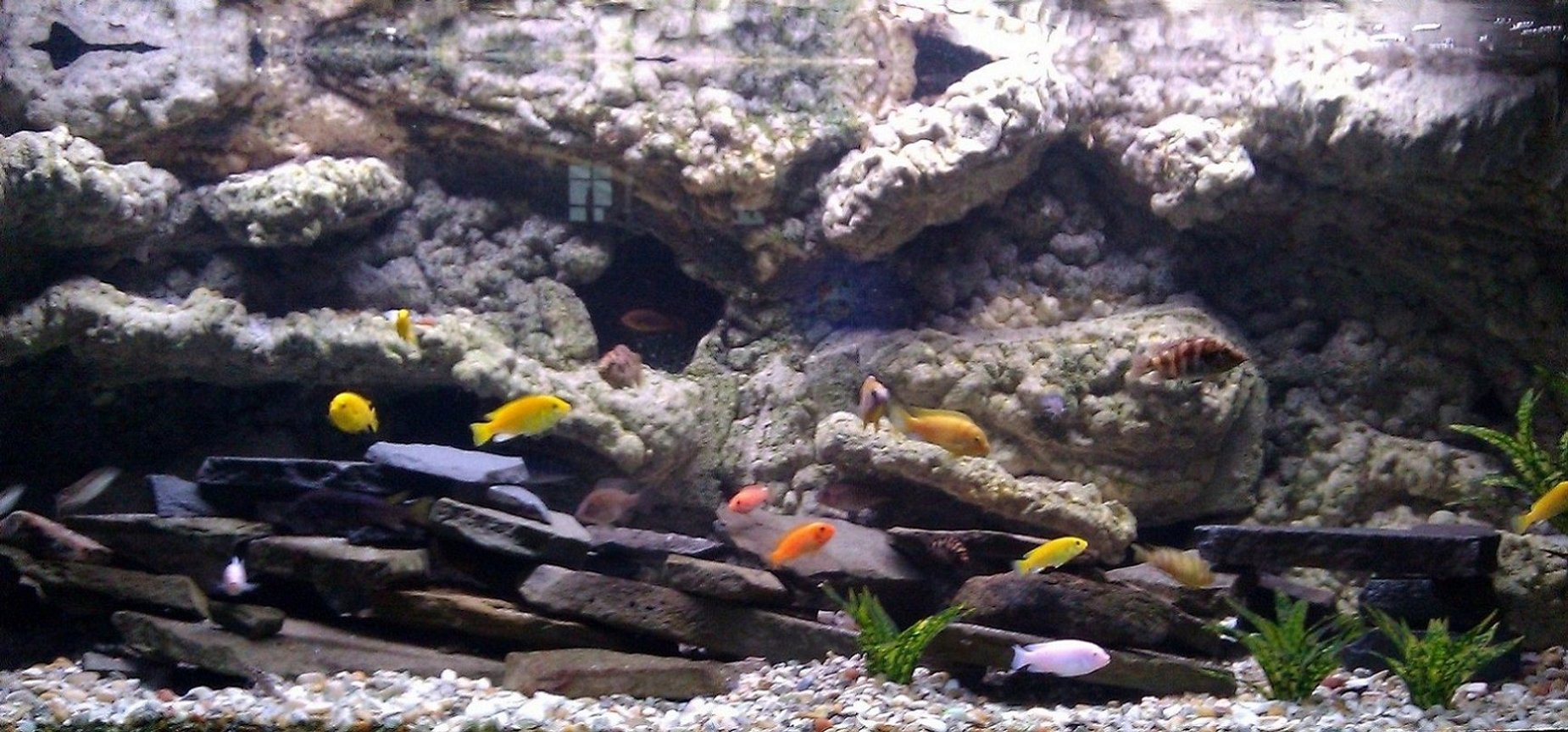 150 gallons freshwater fish tank (mostly fish and non-living decorations) - 150 gallon african cichlids