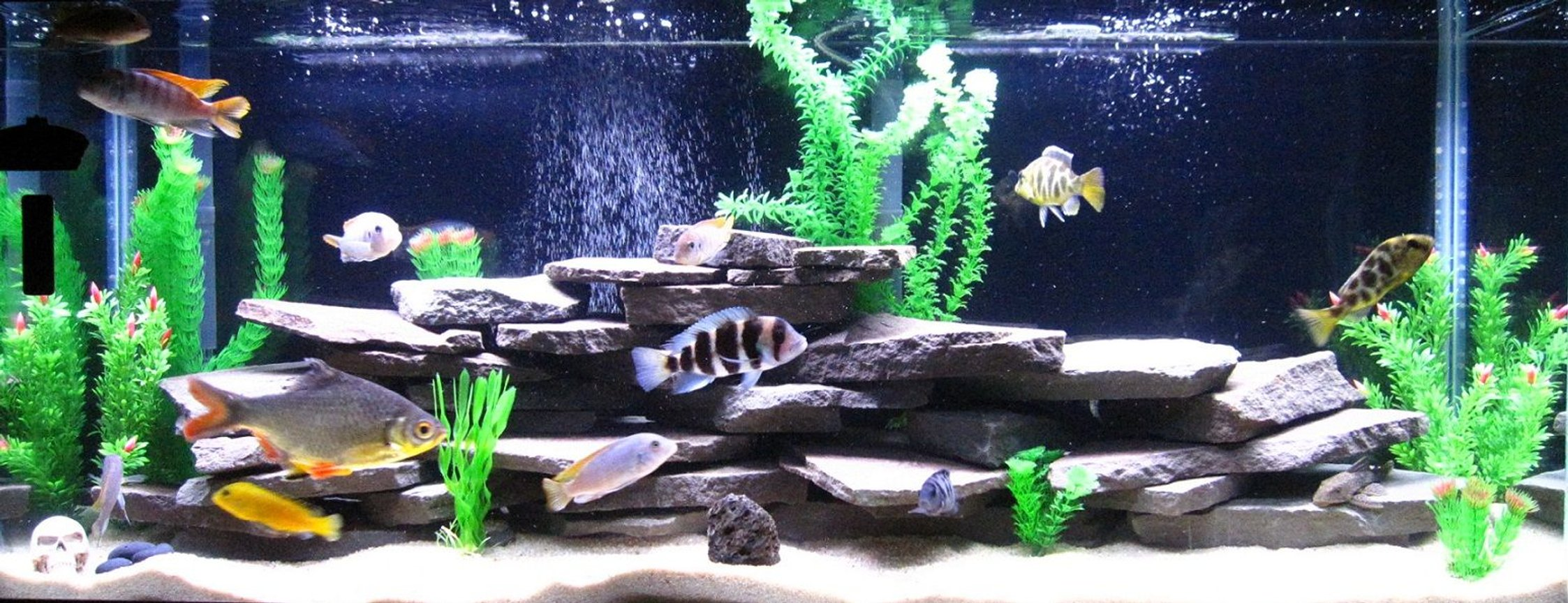 55 gallons freshwater fish tank (mostly fish and non-living decorations) - 55 Gallon Chiclid Tank