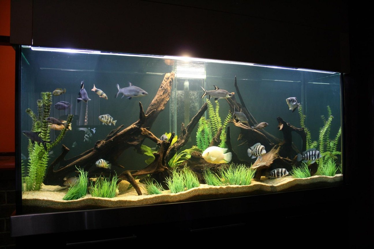 245 gallons freshwater fish tank (mostly fish and non-living decorations) - cichlid tank!