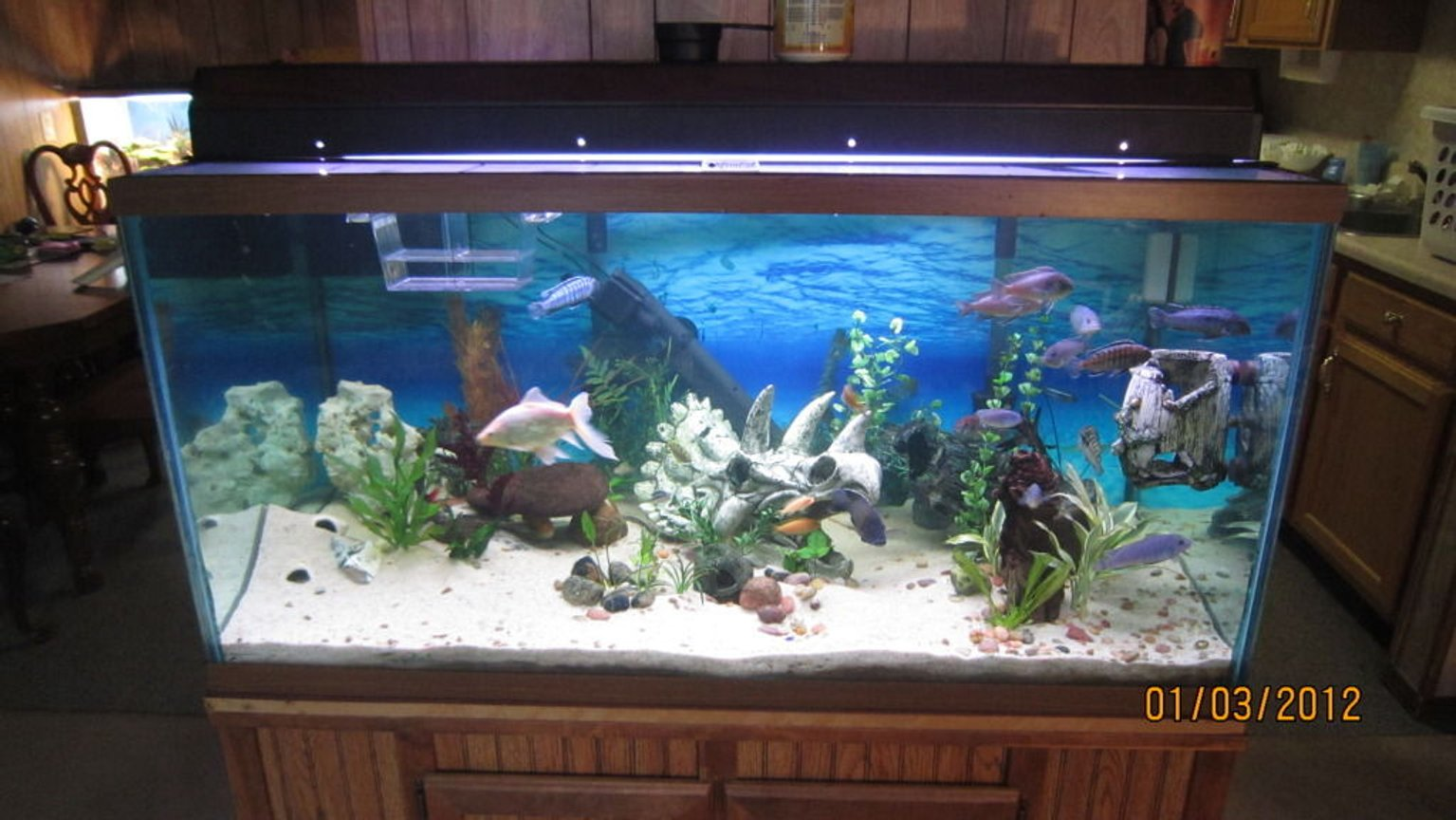 120 gallons freshwater fish tank (mostly fish and non-living decorations) - 120g FW Cichlid tank.