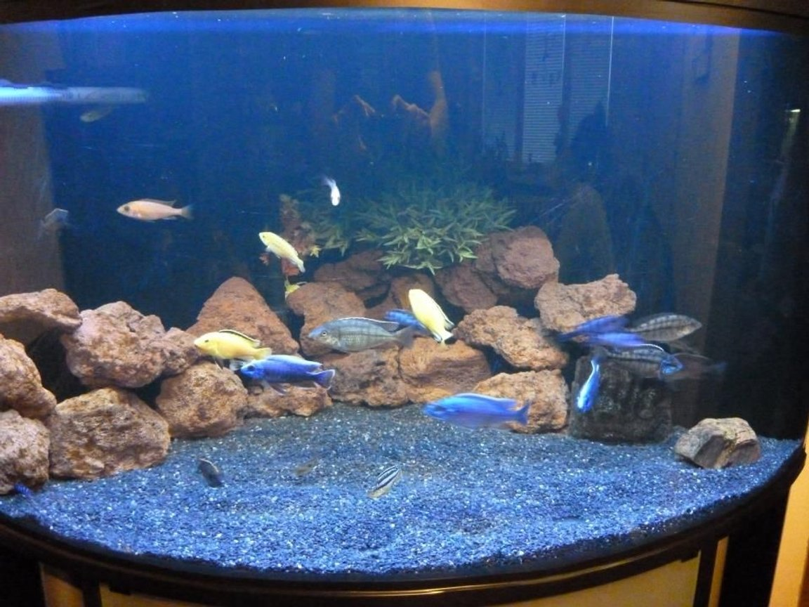 100 gallons freshwater fish tank (mostly fish and non-living decorations) - Lake Malawi cichlids tank