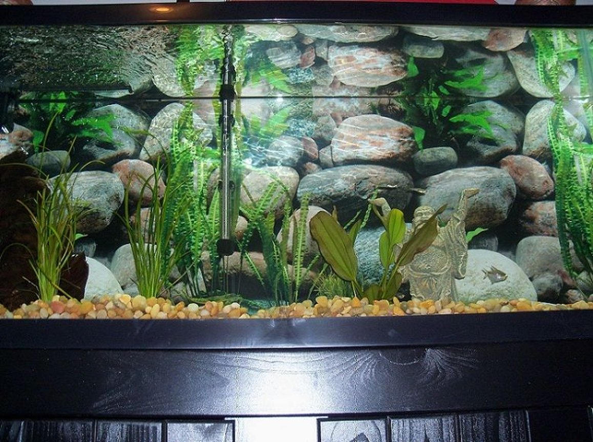55 gallons freshwater fish tank (mostly fish and non-living decorations) - 55 gallon, zebra danio and diamond tetra, fresh piece of Malaysian driftwood, anarcharis, sagittaria, and Kleiner Bar.
